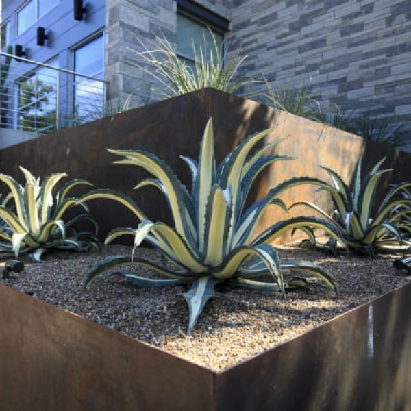 1488825945Agave-white-striped-Agave-americana-var-medio-picta-form-Inverness-ep.jpg