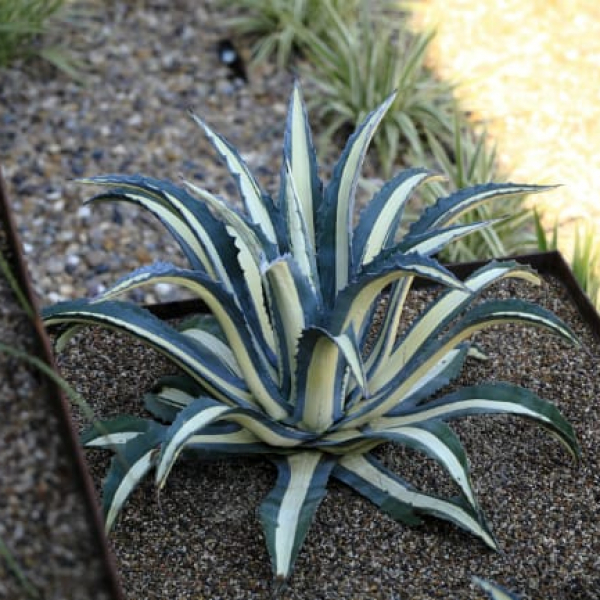1488825949Agave-white-striped-Agave-americana-medio-picta-form-Turnberry-ep.jpg