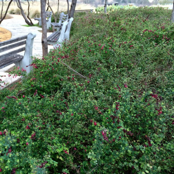 1488998781Coralberry-Symphoricarpos-orbiculatus-form-park-bench-February.jpg