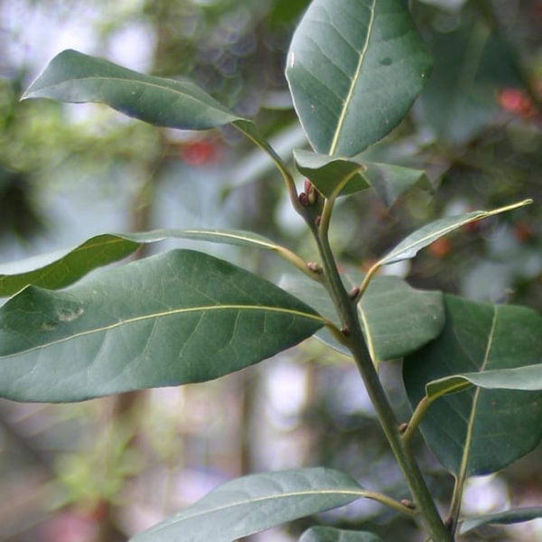 1489074873Bay-Laurel-Laurus-nobilis-detail-leaf.jpg