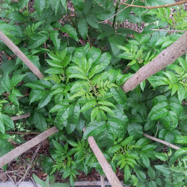 1489174392Esperanza-Tacoma-stans-form-spring-regrowth-after-freeze-May.jpg
