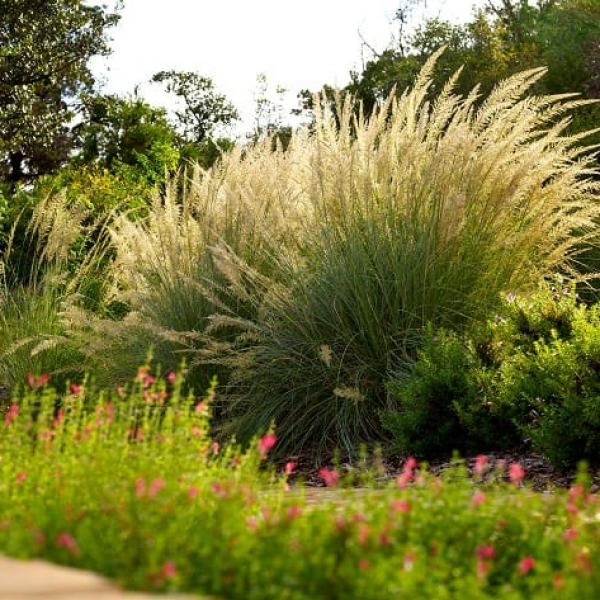 1497018996s-Lindheimer-Muhly-with-Salvia-in-Foreground.jpg