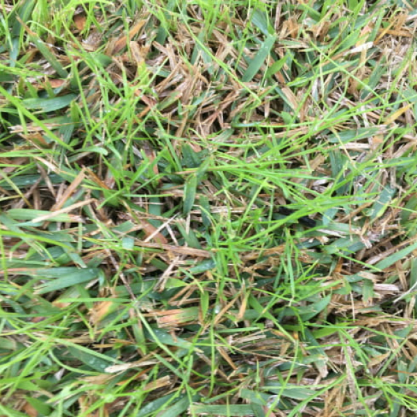 1512758781Ryegrass-in-zoysia-650.jpg