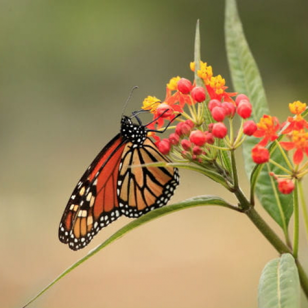1513112240Milkweed-Asclepias-mexicana-detail-with-monarch-ep-full-650.jpg