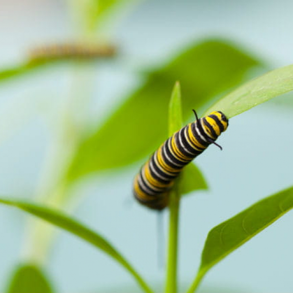 1513112259Milkweed-tropical-Asclepias-curassivaca-detail-with-Monarch-caterpillar-jr-650.jpg