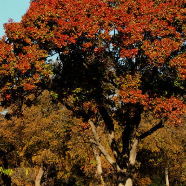 1513788975Red-oak-Quercus-texana-form-autumn-600.jpg
