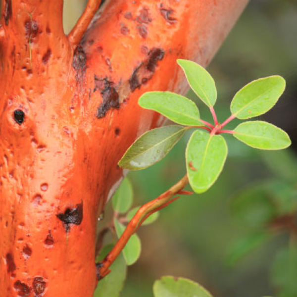 1542291302madrone-Arbutus-texensis-detail-bark-and-leaf-650.jpg