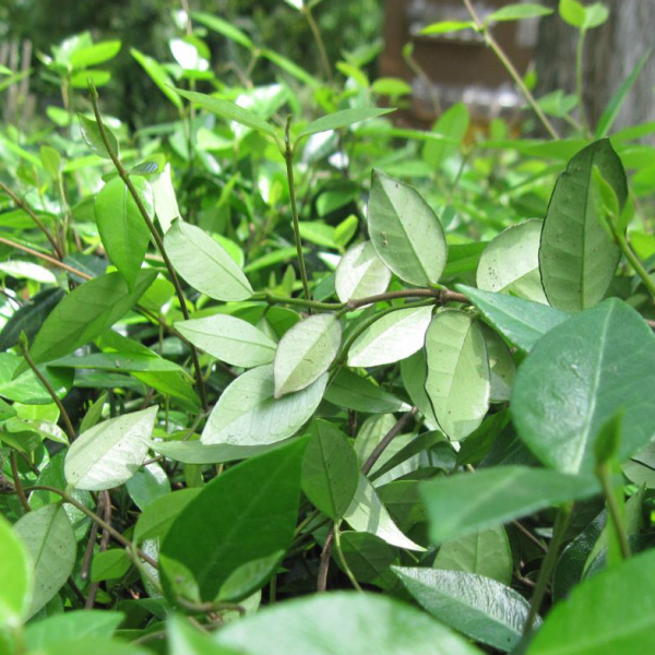 Asiatic jasmine is an adaptable groundcover.