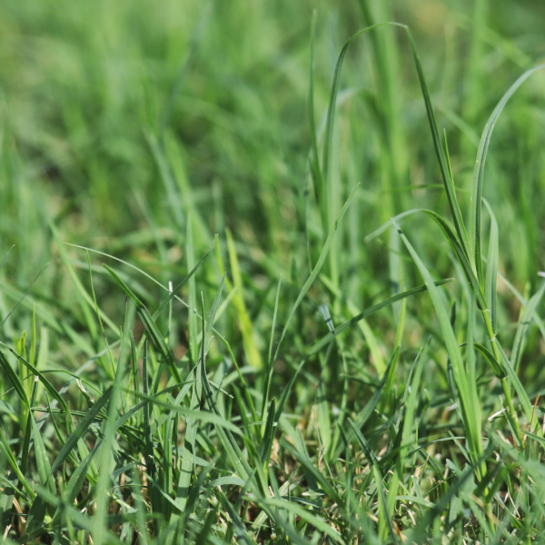 Bermuda grass leaves.
