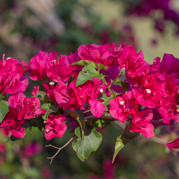 Bouganvillea flowers and leaves.