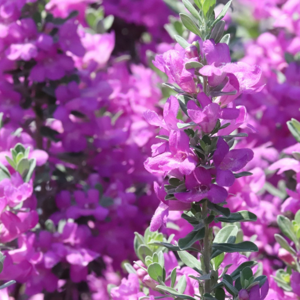 Cenizo Texas sage flowers.