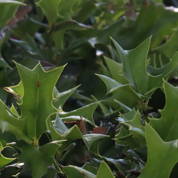 Dwarf Chinese holly leaves.