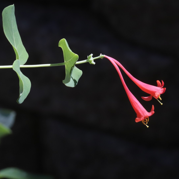 Coral honeysuckle flowers.