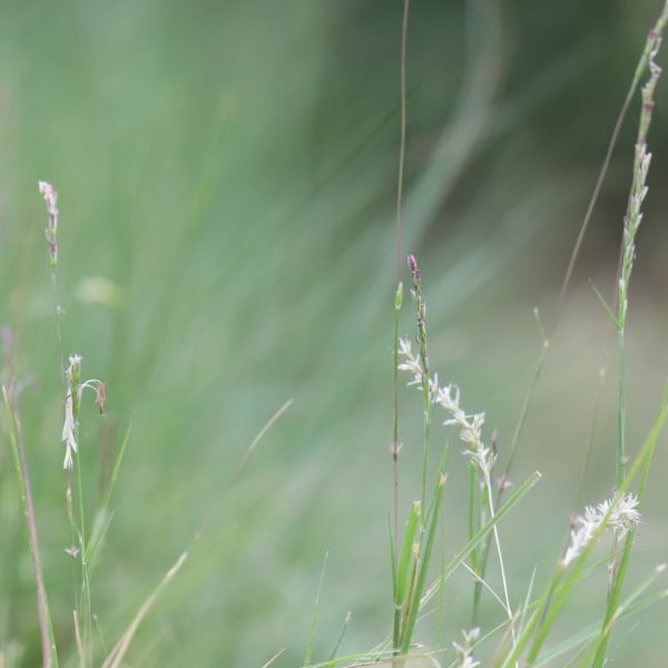 Curly mesquite grass leaves.