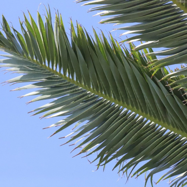Canary Island date palm leaf.