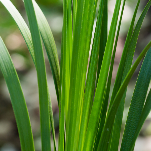 Dwarf palmetto leaves.