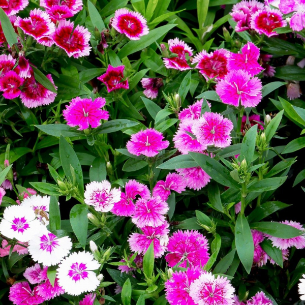 Dianthus pink flowers.