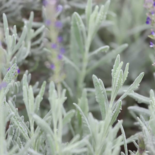 English lavender leaves and flowers.