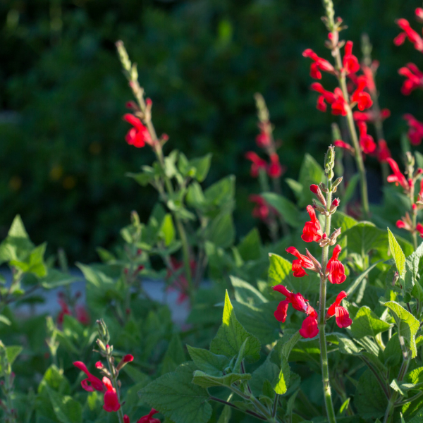 Darcy fiery mountain sage leaves and flowers.