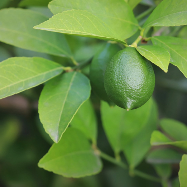 Lemon leaves with early fruit.