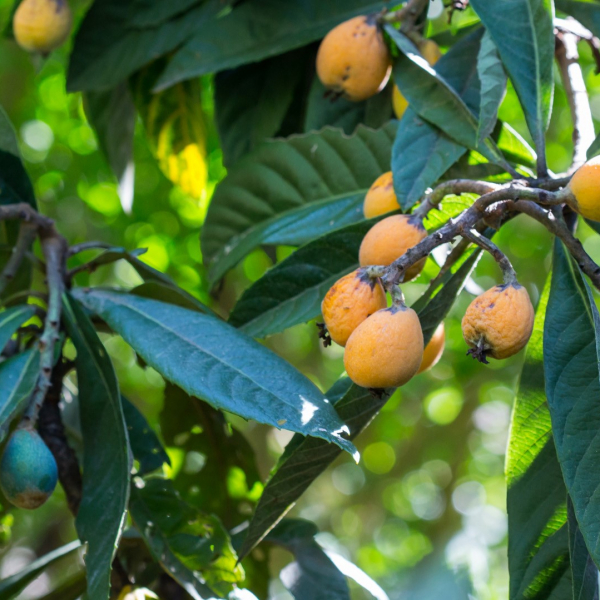 Loquat fruit and leaves