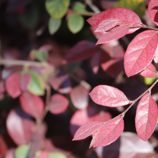 Typically used as a foundation hedge, loropetalum exhibits deep burgundy hues.