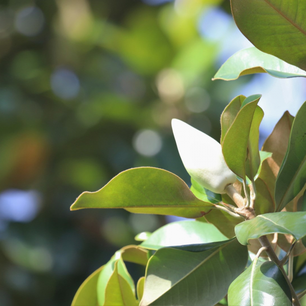 Magnolia leaves and flower.