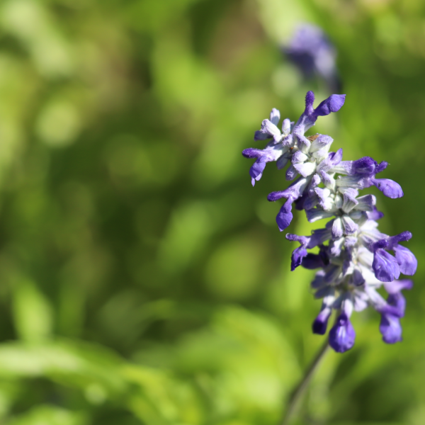 Mealy blue sage flowers.