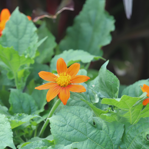 Mexican sunflower leaves and flowers.