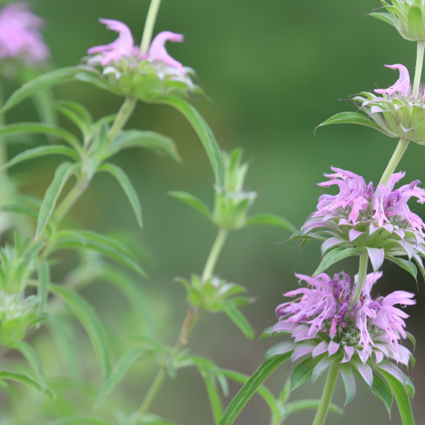 Monarda lemon balm flowers and leaves.