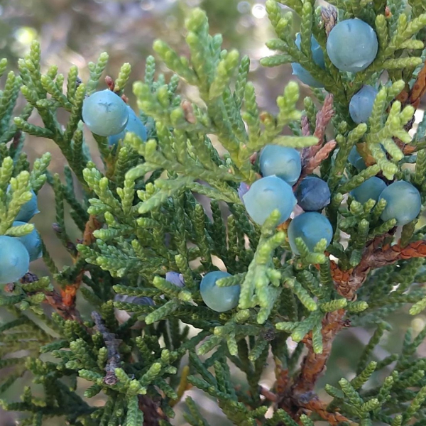 Mountain cedar leaves and fruit.