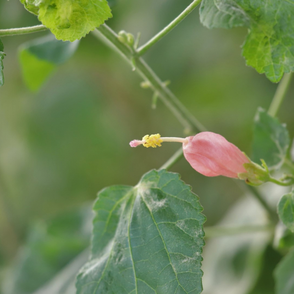 Pink Turk's cap leaves and flowers.