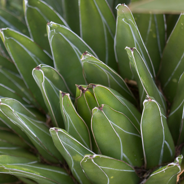 Royal Victoria agave leaves.