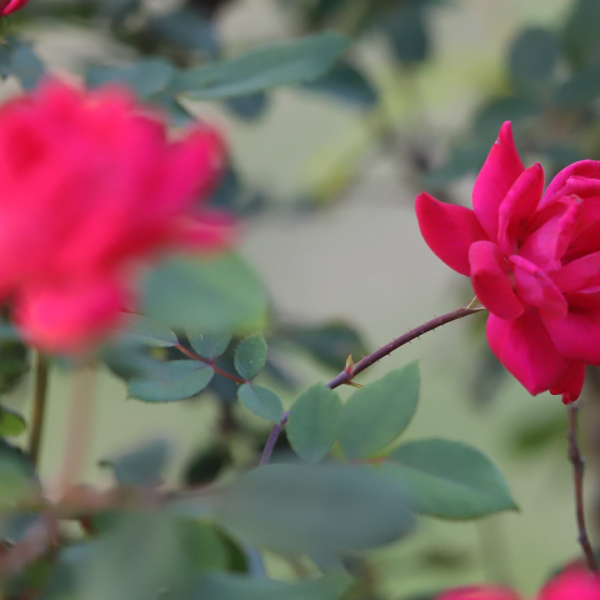 Thanks to their relative ease of upkeep, Knockout roses are widely used in beautification and commercial landscapes.