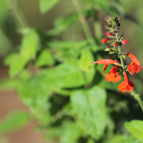 Texas-native tropical sage brightens up dark places in the landscape and attracts hummingbirds with its sweet nectar..