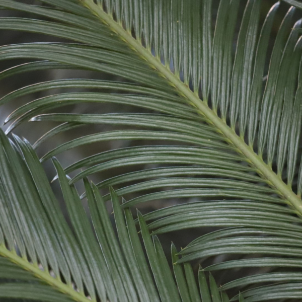 Sago palms are members of an ancient plant family that would have been familiar to the dinosaurs.
