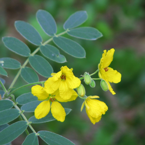 Flowers appear in late summer and autumn with five bright yellow crinkly petals