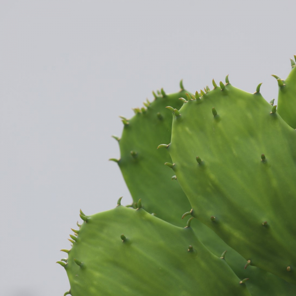 Spineless prickly pear pads.