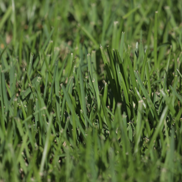 St. Augustine grass is a thick warm-season turfgrass used in moist tropical and semi-tropical locations, where it grows in thick mats that exclude weeds.