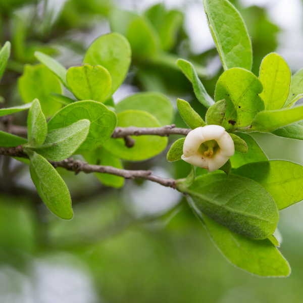 A spring persimmon flower, which by mid-summer will bear plump fruit.