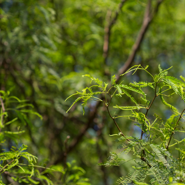 Thornless mesquite branches and leaves.