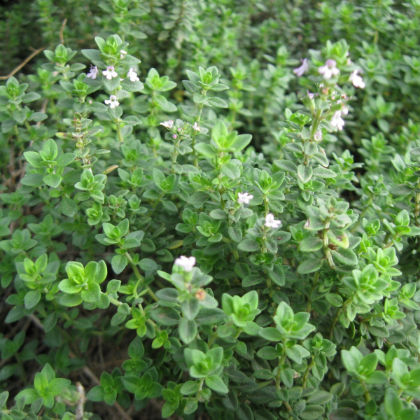 Thyme is not only wonderful in the kitchen, it's beautiful in a garden.