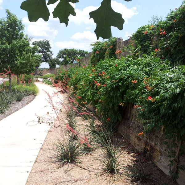 Trumpet Creeper is great if you're looking for something drought-tolerant