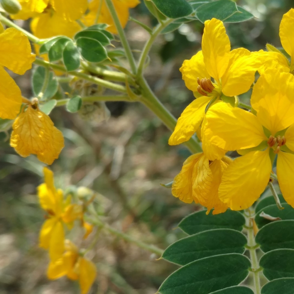 Velvet leaf senna leaves and flowers.