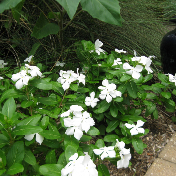 all vincas are susceptible to Phytophthora fungi