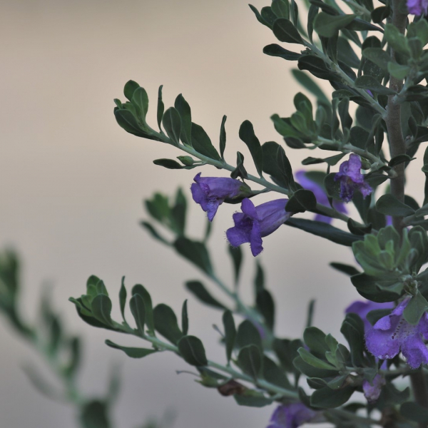 Wright's skullcap leaves and flowers.