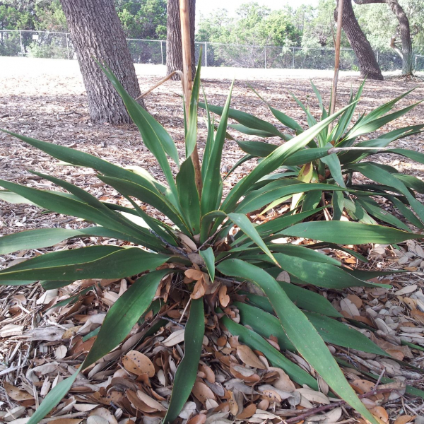 Twistleaf Yucca has unique leaves that naturally twist
